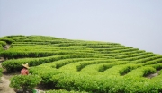 贵州遵义山盆镇茶叶种植加工项目
