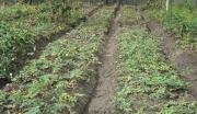 贵州遵义山盆镇生态天麻、黄莲等药材种植项目