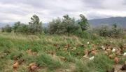 新疆兵团有机天山鸡加工项目