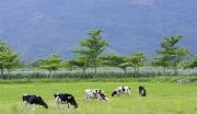 靖远县万头奶牛养殖基地