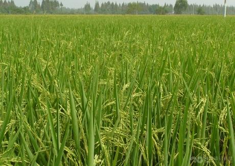 朱湖糯米种植地基
