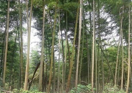 鄂南大竹海生态风景区实景图