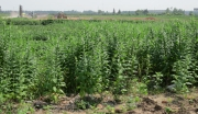 龙感湖黄籽油菜产业化开发项目