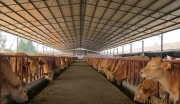 保山市奶水牛养殖开发项目