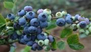 巧家县蓝莓种植科技示范园及深加工建设项目