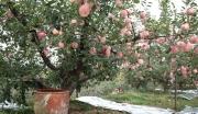 200亩农庄苹果园转让