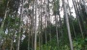 韶关市仁化县10000亩杉木林
