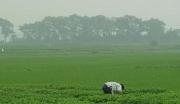 山东泰安东平县1万亩规划种植油用牡丹玫瑰