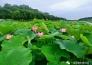 一湾荷塘生态园实景图