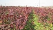 浙江湖州长兴县43亩成熟苗圃紧急转让