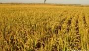 吉林省镇赉县270亩水田转让