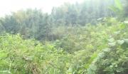 江西安福县138亩肥沃丘陵转让