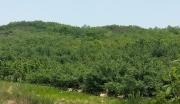 山东烟台800亩荒山超低价流转或合作开发