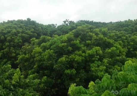 海南三亚三道30亩果园紧急转让实景图
