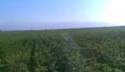 新疆伊犁奎屯市230亩农用地转让