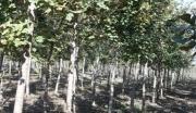 山东海阳400亩优质林地转让(位于青岛烟台威海中心地带)